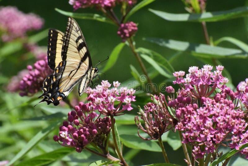 老虎Swallowtail蝴蝶Papilio glaucus 免版税图库摄影