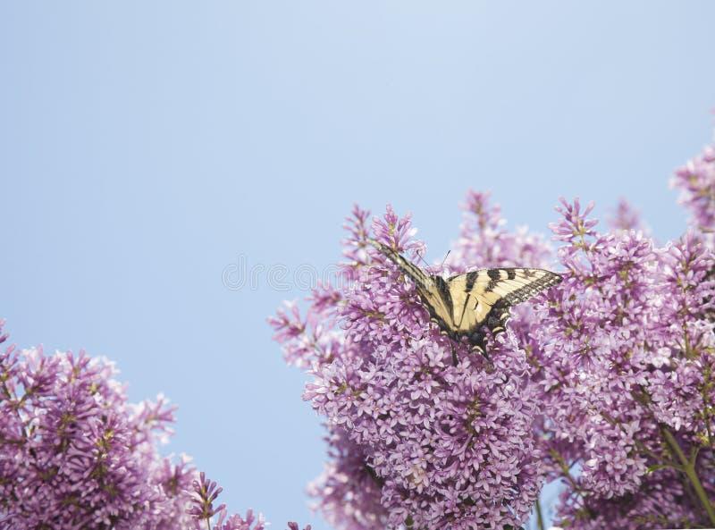 老虎swallowtail蝴蝶在紫色lillac tre的papilio glaucas 图库摄影