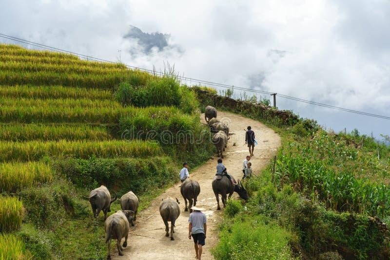 老街,越南- 2017年9月7日:有回家在Y Ty,棒Xat区的露台的米领域中的水牛的乡下公路 免版税库存图片