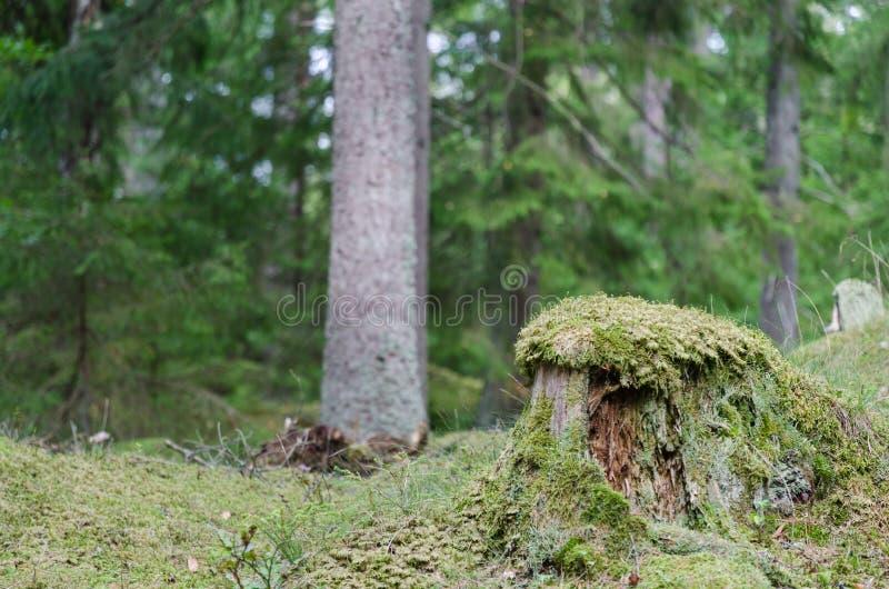 老青苔被包裹的树桩 免版税库存图片