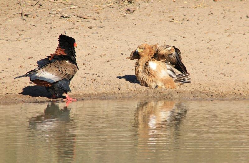 老鹰、Bateleur和黄褐色-从非洲的野生猛禽-羽毛战斗 库存图片