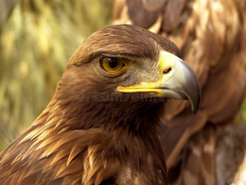 老鹰前实际 库存照片