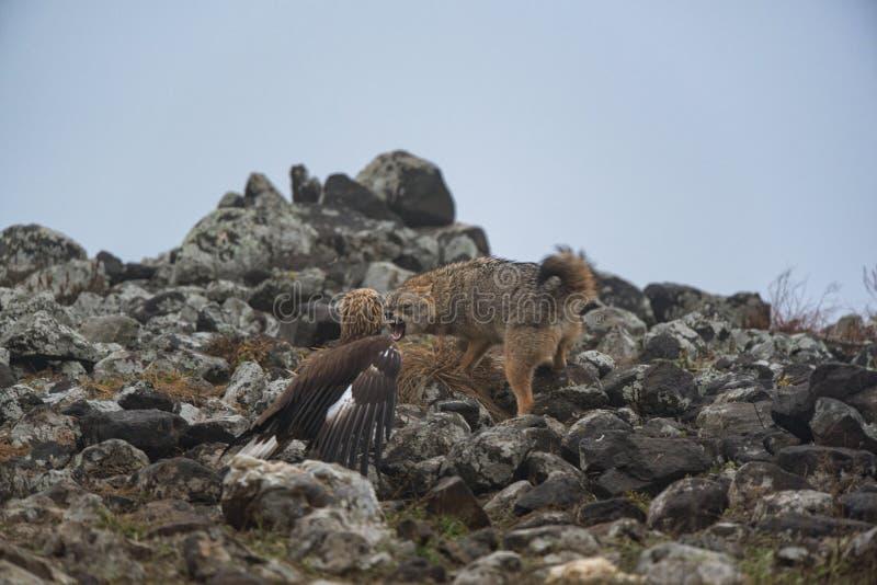 老鹰和狐狼战斗  免版税图库摄影