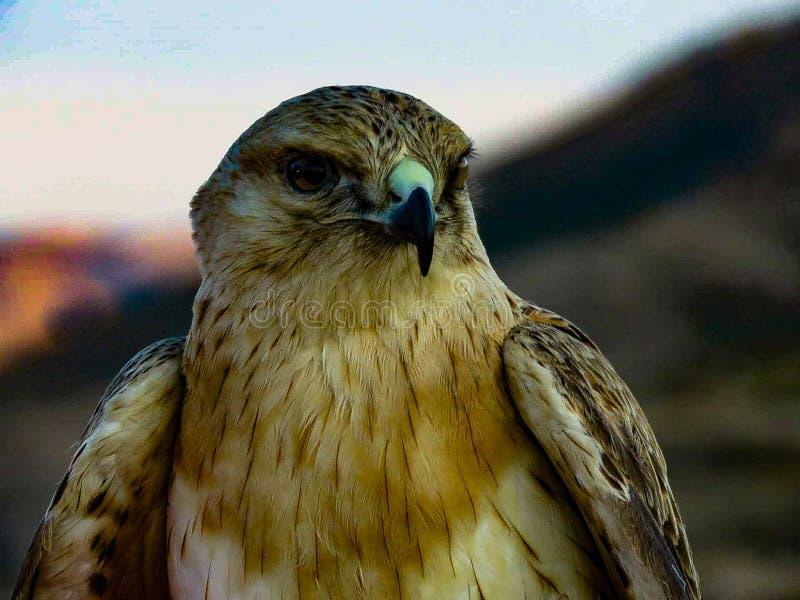 老鹰在撒哈拉 库存照片