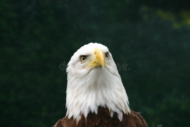 老鹰想法 库存照片