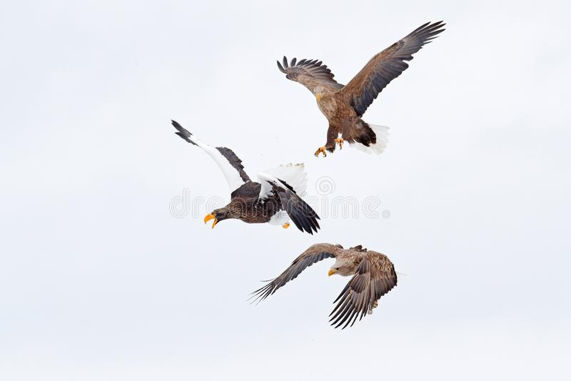 老鹰战斗 与鱼的老鹰战斗 冬天场面,鸷 大老鹰,雪海 飞行白被盯梢的老鹰,北海道,日本, 库存照片