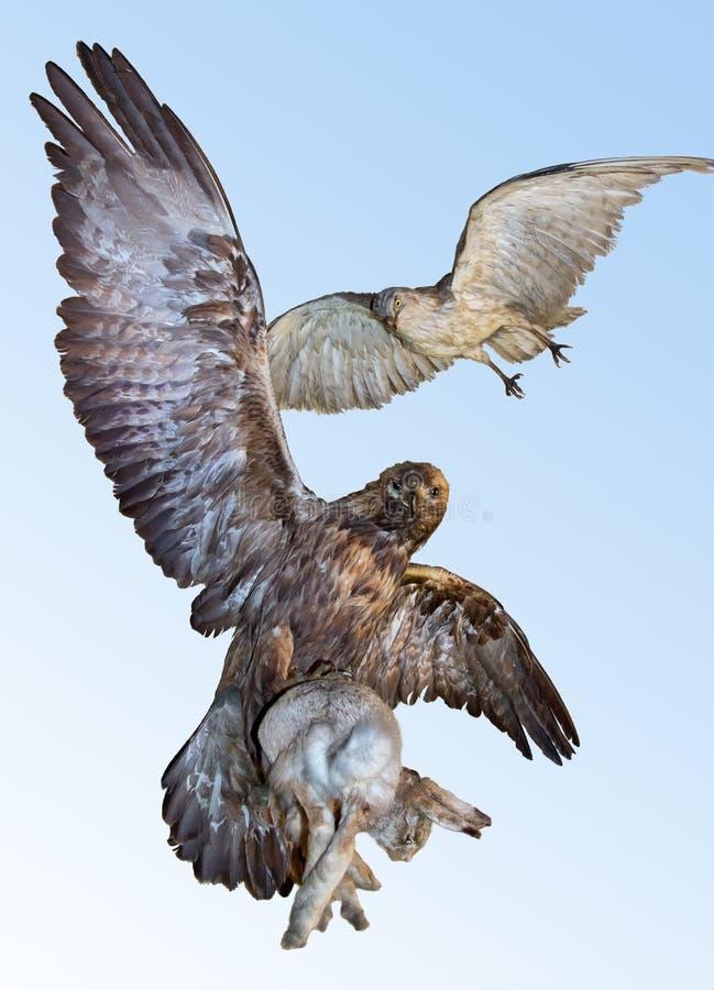 老鹰捉住了一个野兔 库存图片