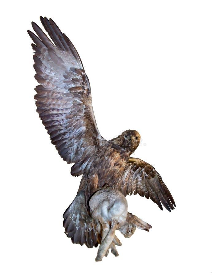 老鹰捉住了一个野兔 免版税库存照片