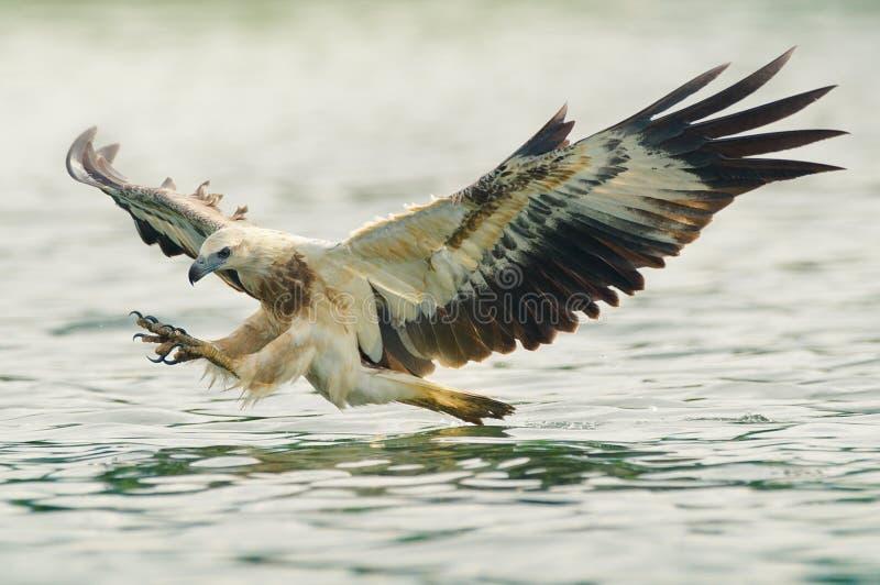 老鹰狩猎海运 库存照片