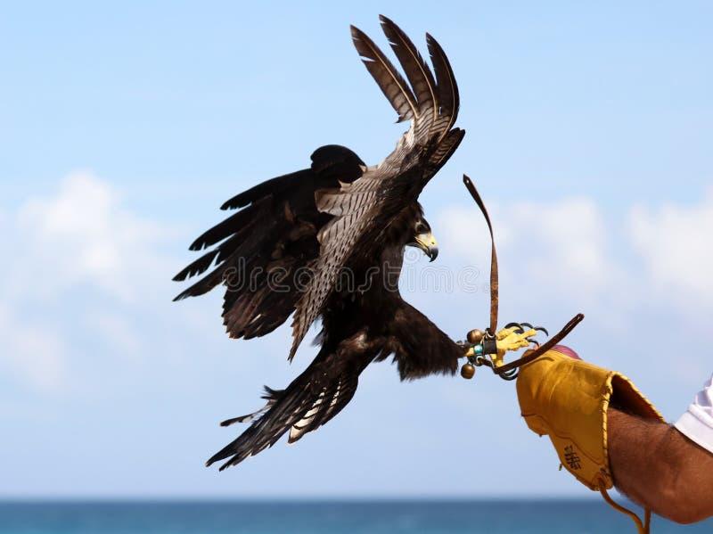 老鹰猎鹰训练术,猛禽狩猎训练在墨西哥 免版税库存照片