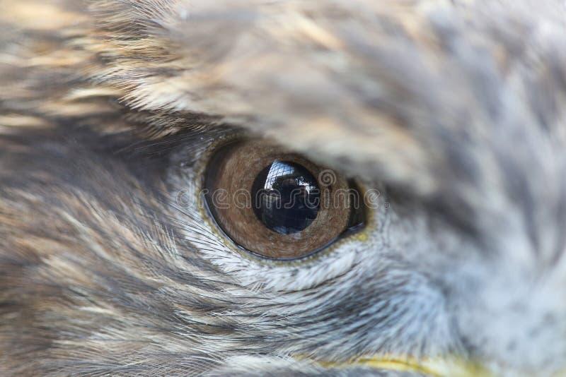 老鹰的一只眼睛 免版税库存图片
