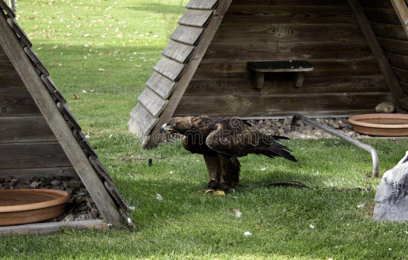 老鹰真正的猎鹰训练术 免版税库存图片