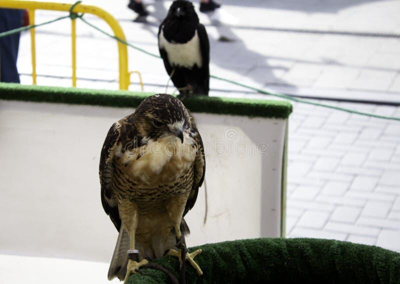 老鹰真正的猎鹰训练术 库存照片