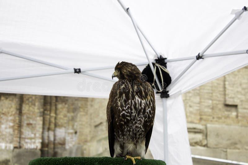 老鹰真正的猎鹰训练术 免版税库存照片