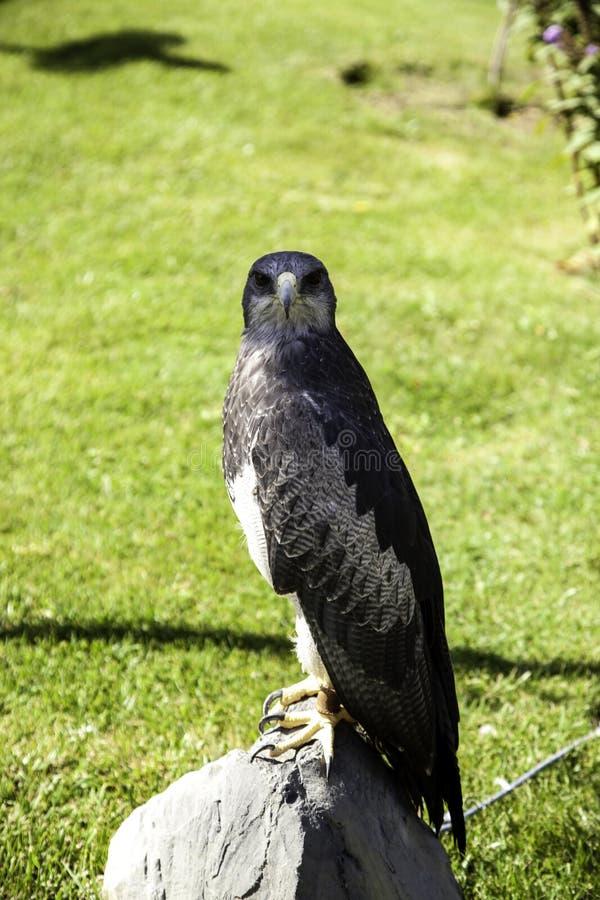 老鹰真正的猎鹰训练术 图库摄影