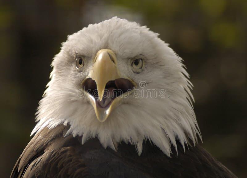 老鹰纵向 免版税库存照片