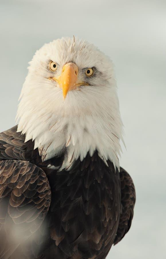 老鹰表面纵向 免版税图库摄影