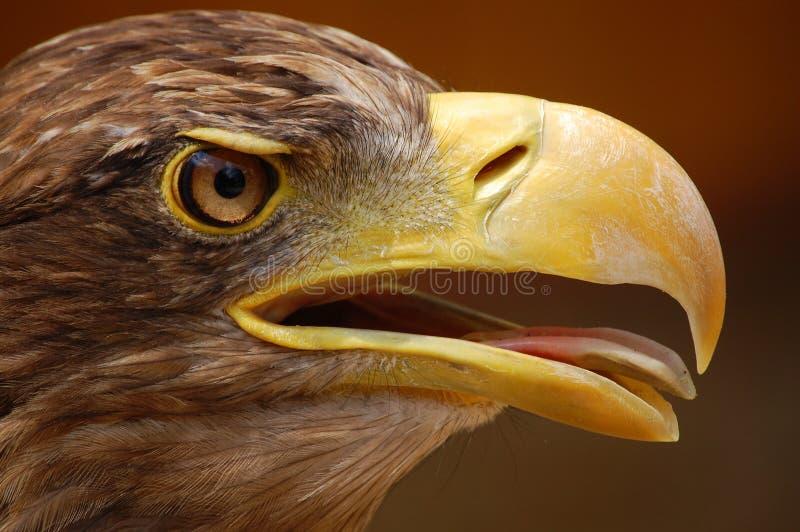 老鹰题头 库存图片