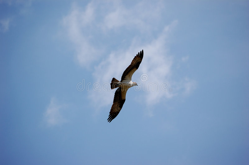 老鹰飞行年轻人 库存图片