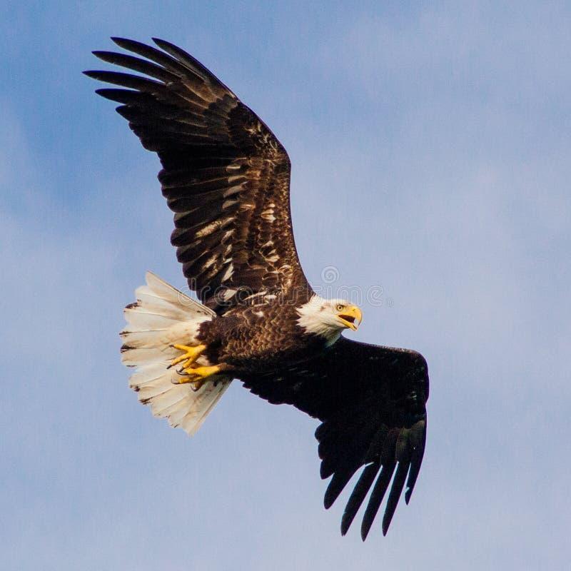 老鹰飞行 库存照片