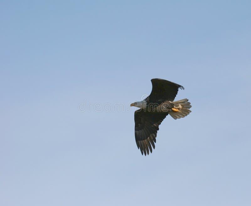 老鹰飞行 库存图片