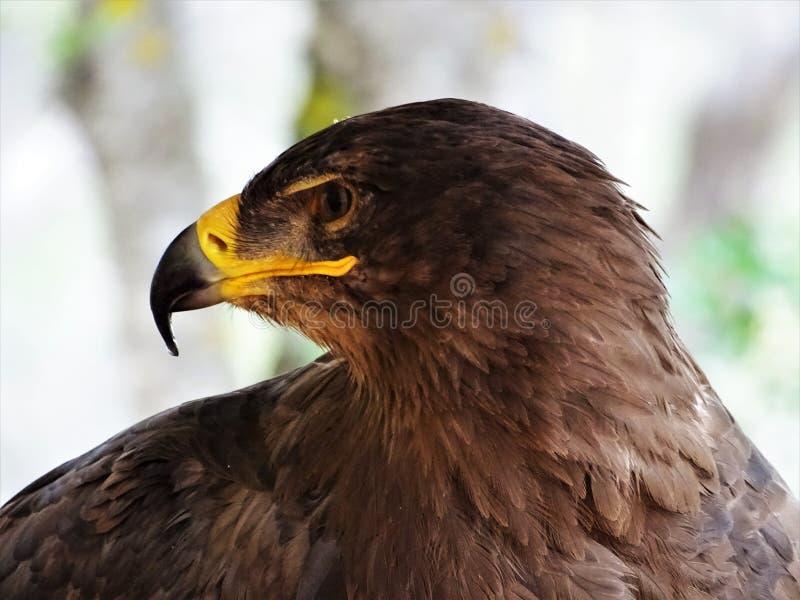 老鹰鸟食肉动物的外形图片 免版税图库摄影