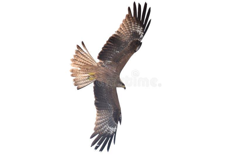 老鹰,飞行高与自由 库存照片