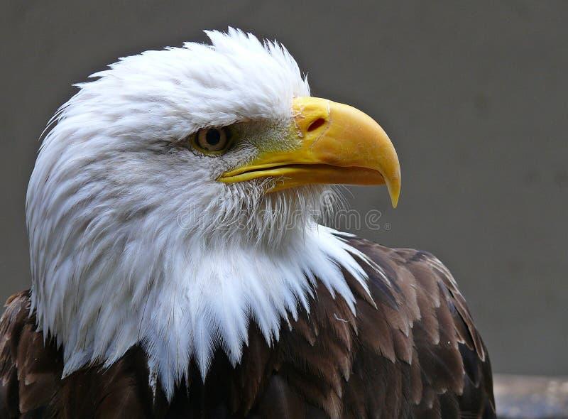 老鹰 免版税库存图片