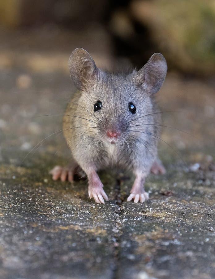 老鼠在庭院里 库存照片