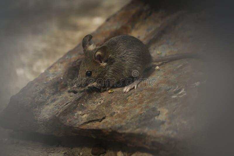 老鼠在庭院里 免版税库存图片