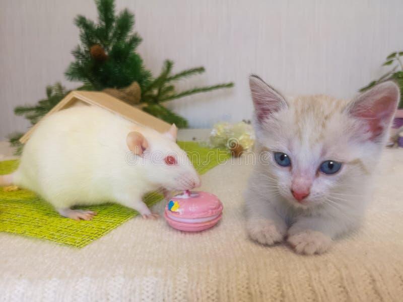 老鼠在猫旁边坐 一只小的小猫和一只白色鼠 库存照片