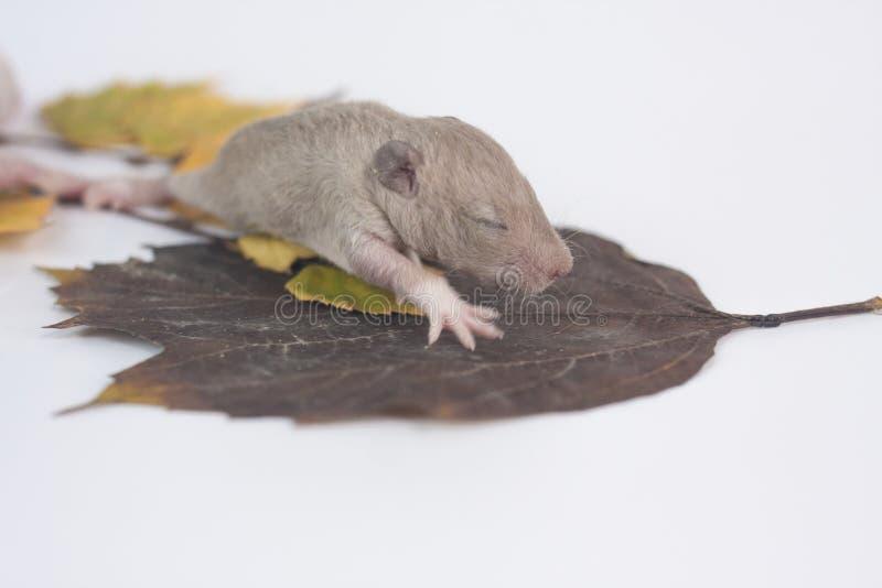 老鼠坐叶子 新生儿鼠特写镜头 图库摄影