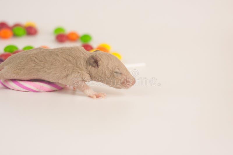 老鼠用食物 新出生的鼠用糖果 库存照片