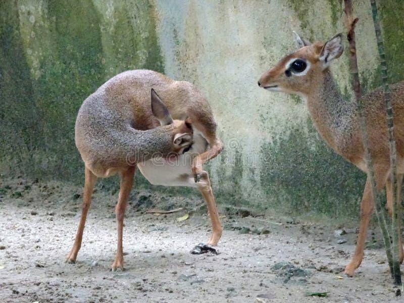 老鼠鹿或地方舌头叫在笼子化合物的kancil 库存图片