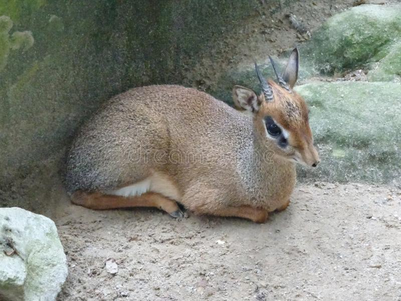 老鼠鹿或地方舌头叫在笼子化合物的kancil 免版税库存照片
