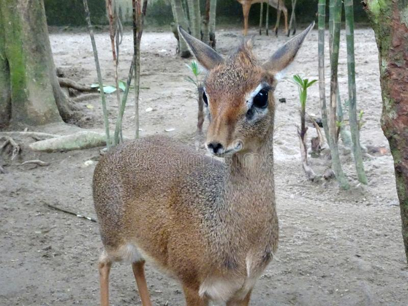 老鼠鹿或地方舌头叫在笼子化合物的kancil 库存照片