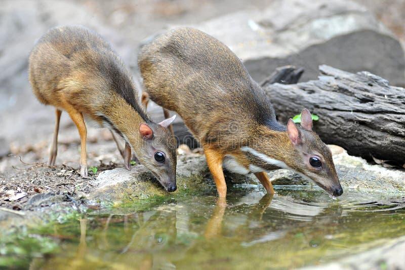 老鼠鹿,当地动物向东南亚 免版税库存照片