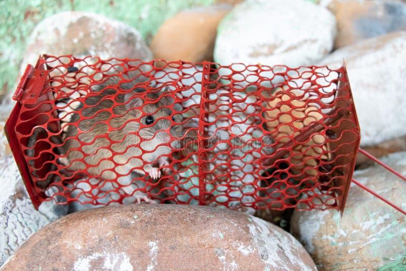 老鼠,在捕鼠器笼子的鼠caugth 免版税库存照片