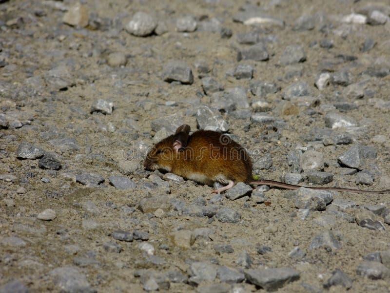 老鼠,小啮齿目动物,道路 免版税库存照片