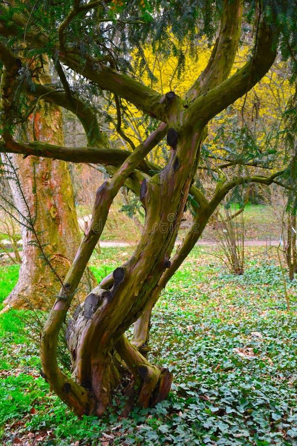 老,病的杉木在五颜六色的环境里 库存图片