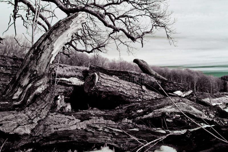 老,被打结的木材 免版税库存图片