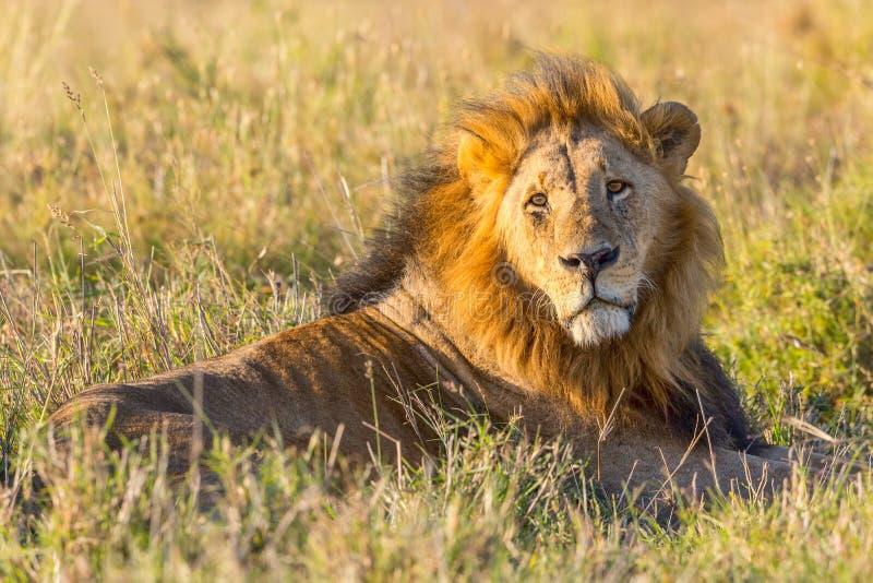 老黑有鬃毛的公狮子 免版税库存照片