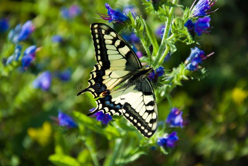 老swallowtail世界 免版税库存照片