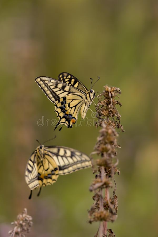老swallowtail世界 免版税图库摄影
