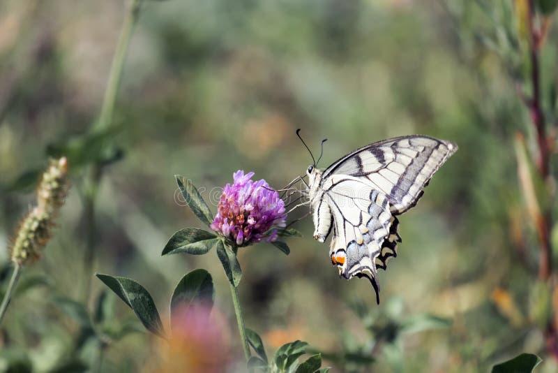 老swallowtail世界 库存图片