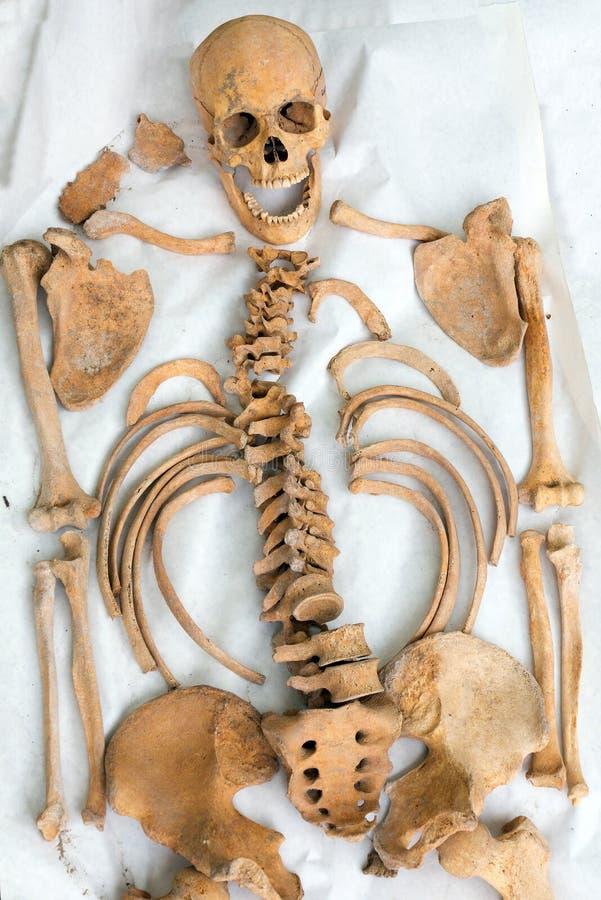 考古发现老人的骨骼的示范 免版税库存图片
