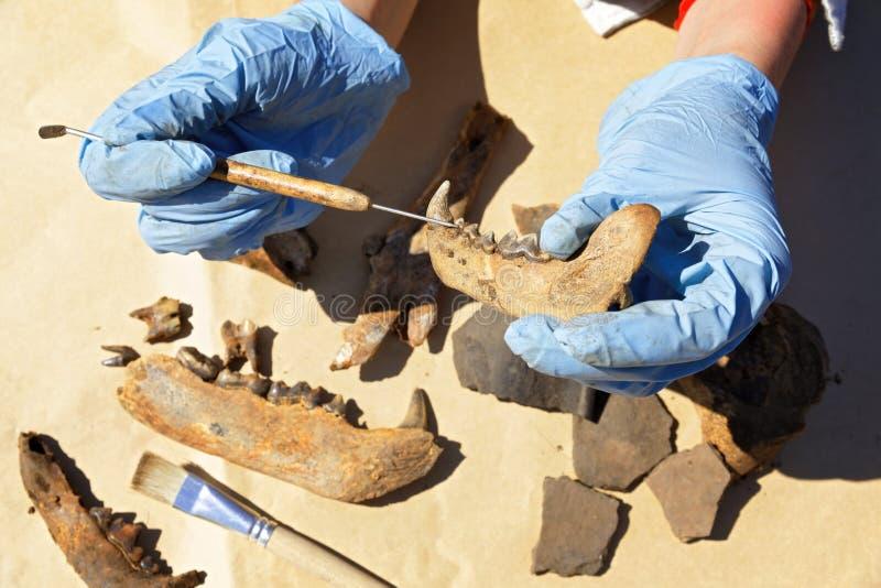 考古学家小心地清洗与刮板发现-一部分的熊` s下颌 免版税库存照片