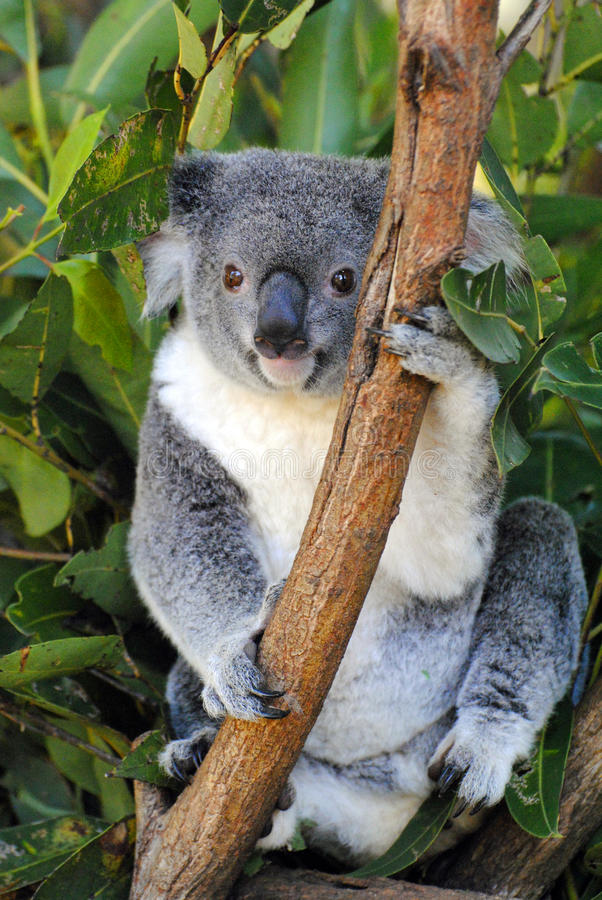 考拉在昆士兰 库存照片