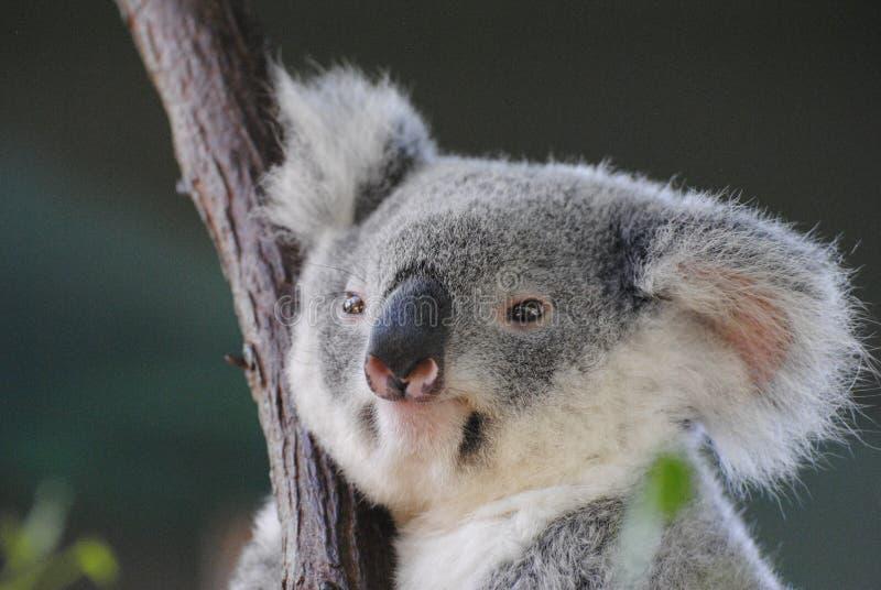 考拉在昆士兰 免版税库存图片
