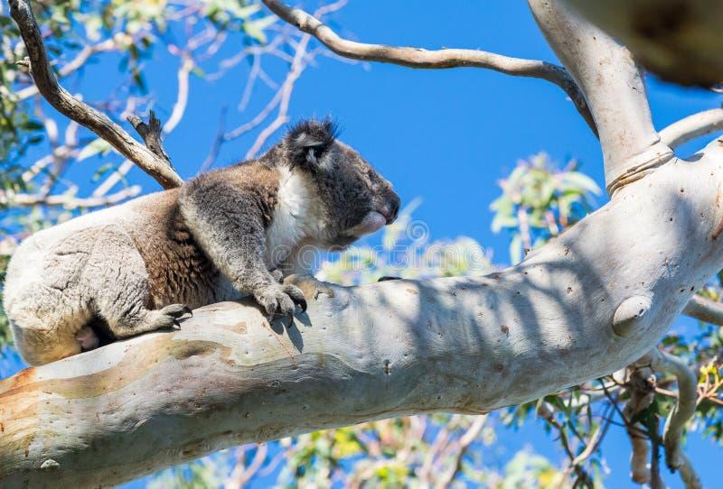 考拉放松在树枝的-伟大的Otway国家公园 库存图片